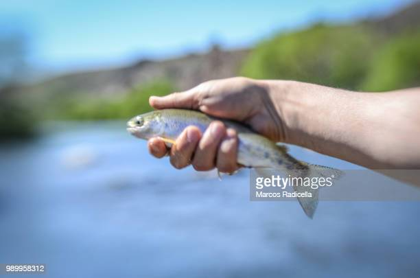 fish held by hand - radicella stock pictures, royalty-free photos & images