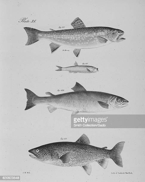 Fish illustrations including the Brook Trout the Argentine the Sea Salmon and the Lake Salmon Trout 1843 From the New York Public Library