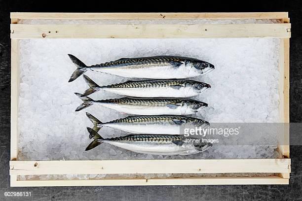 Fish in ice