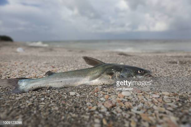 A fish is seen washed ashore after dying in a red tide on August 1 2018 in Captiva Florida Red tide season usually lasts from October to around...