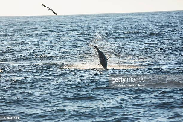 A fish jumping out of the water and a bird flying over the surface of the Atlantic Ocean