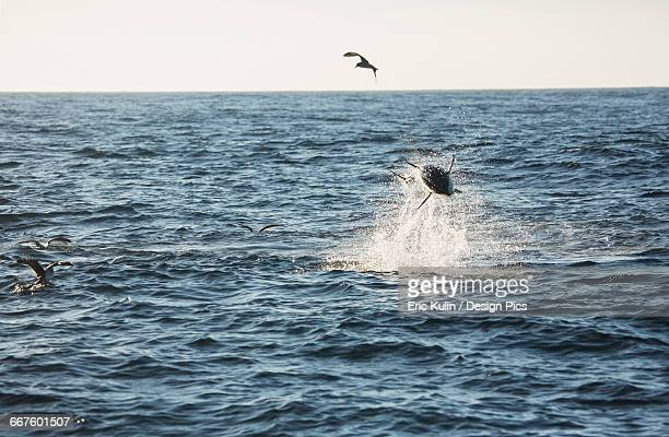 A fish jumping out of the water with birds flying over the surface of the Atlantic Ocean