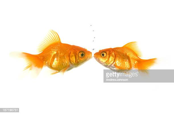 fish kiss - fish love stock pictures, royalty-free photos & images