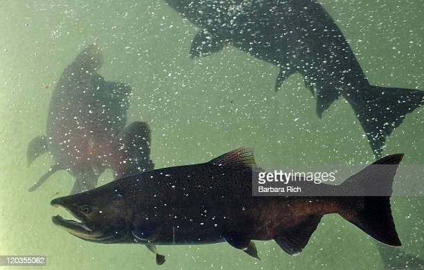 fish ladder window - chinook salmon stock photos and pictures