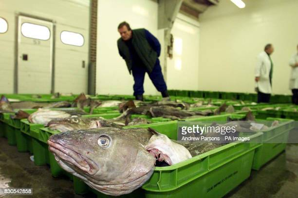 Fish merchants look at the catch before the auction at Waveney Fish Market in Lowestoft Suffolk Parts of the North Sea are being closed to cod...