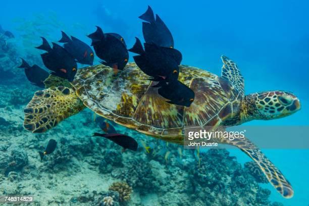 Fish nibbling shell of swimming sea turtle