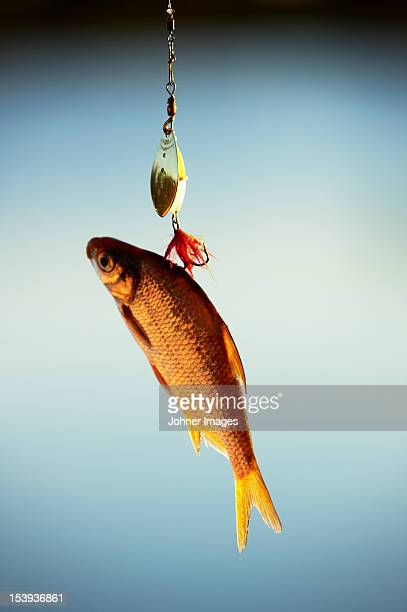 A fish on a hook, close-up.