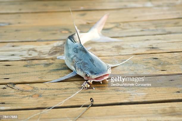Fish on line lying on dock
