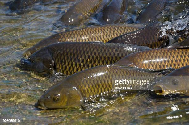 fish out of water - carp stock photos and pictures