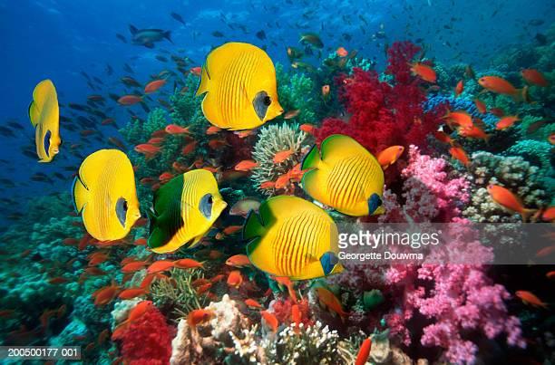 fish over coral reef, underwater view, (digital composite) - poissons exotiques photos et images de collection