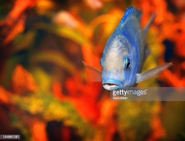 魚 - オキスズキ ストックフォトと画像