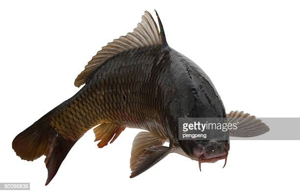 fish - carp stock photos and pictures