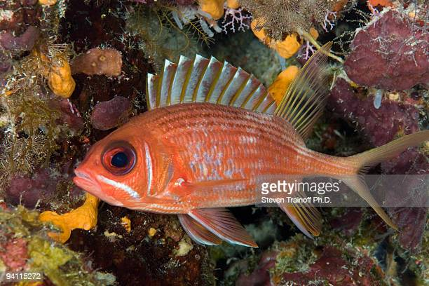 fish print - squirrel fish stock photos and pictures