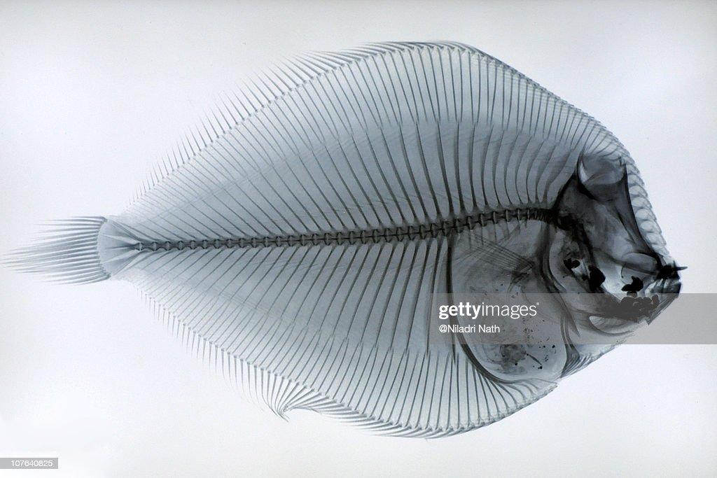 Fish Skeleton : Stock Photo