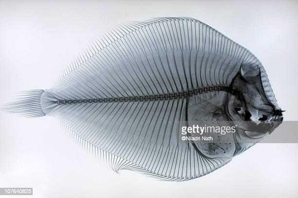fish skeleton - animal skeleton stock photos and pictures