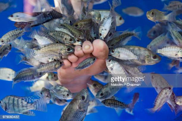 "fish spa - fish massage and foot cleaning - cambodia ""malcolm p chapman"" or ""malcolm chapman"" stock pictures, royalty-free photos & images"