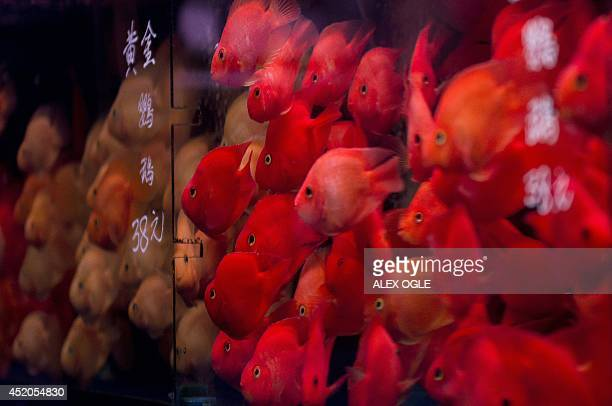 Fish swim in a tank on display in a shop in the Kowloon district of Hong Kong on July 12 2014 Dozens of shops along Tung Choi Street better known as...