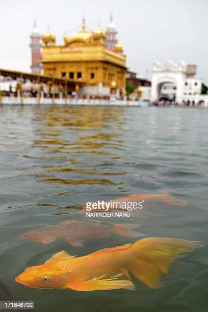 Fish swim in the holy sarovar at the Sikh Shrine The Golden Temple in Amritsar on June 29 2013 On the occasion of the 174th death anniversary of...
