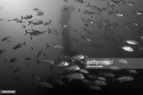 fish swim past the fujikawa maru - lagon chuuk photos et images de collection