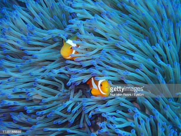 fish swimming by sea anemones undersea - symbiotic relationship stock pictures, royalty-free photos & images