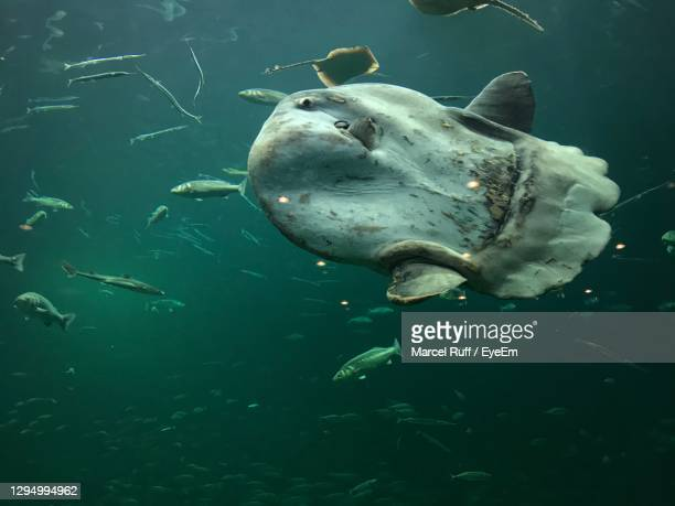 fish swimming in sea - sunfish stock pictures, royalty-free photos & images