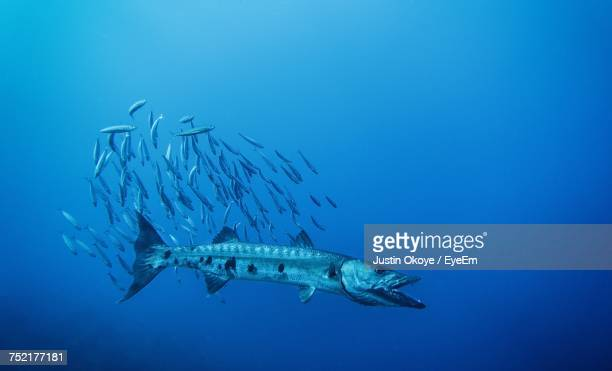 fish swimming in sea - barracuda stock pictures, royalty-free photos & images