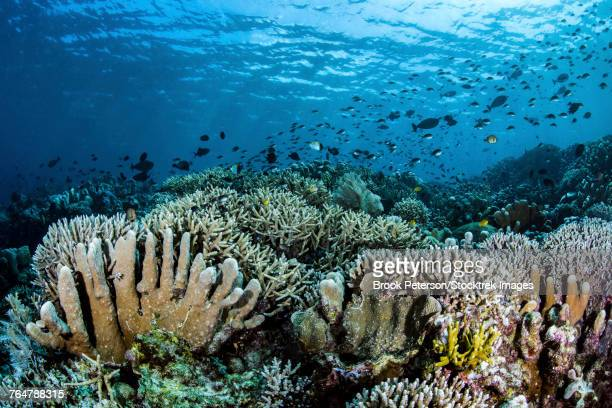 Fish swimming over hard corals in Bunaken, Indonesia.