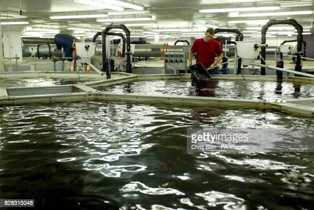 Fish Technician Nick Gibbs check the fish in one of 48 tanks at Europe's first ever Barramundi fish farm near Lymington in the New Forest Hampshire...