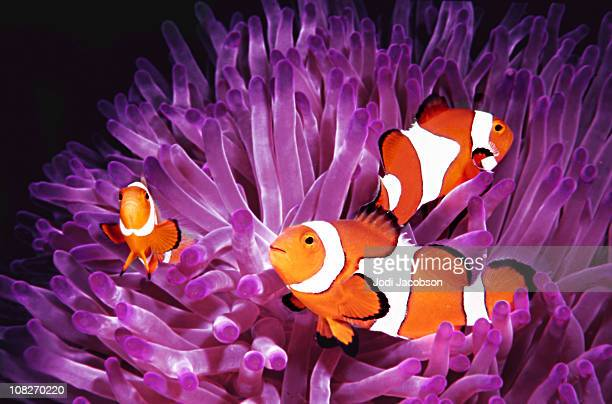 Fish: Topical saltwater, clownfish (Amphiprion Ocellaris)