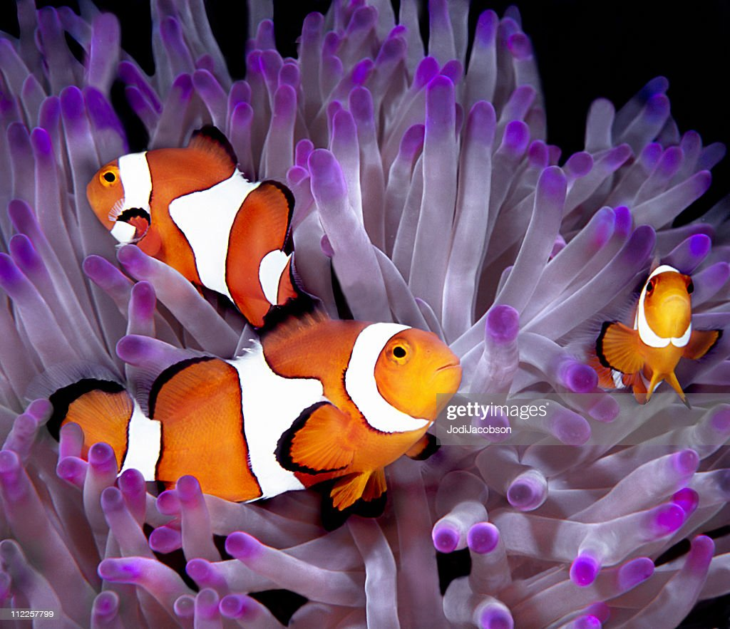 Fish: Tropical saltwater, clownfish, anemonefish (Amphiprion Ocellaris) : Stock Photo