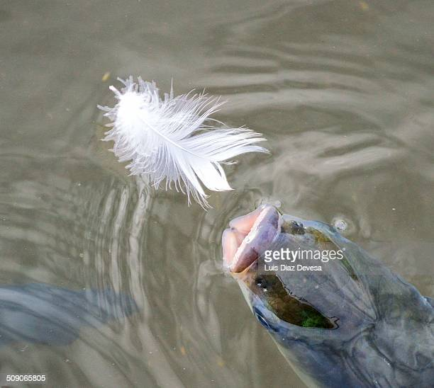 Fish with feathers