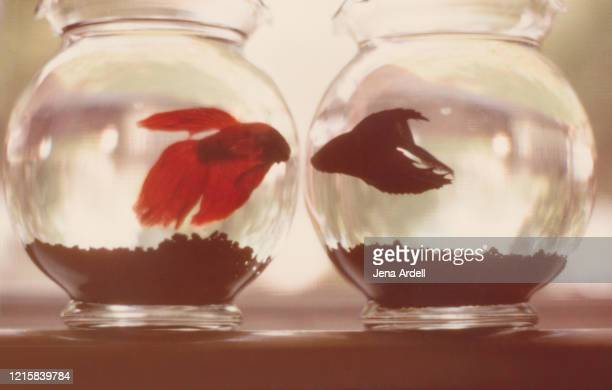 fishbowls: conceptual image for relationships, relationship problems, and social distancing - fish love stock pictures, royalty-free photos & images