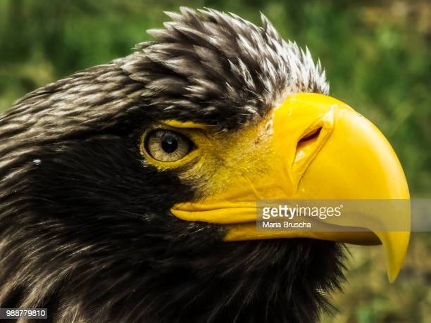 fish-eagle - czech hunters stock pictures, royalty-free photos & images