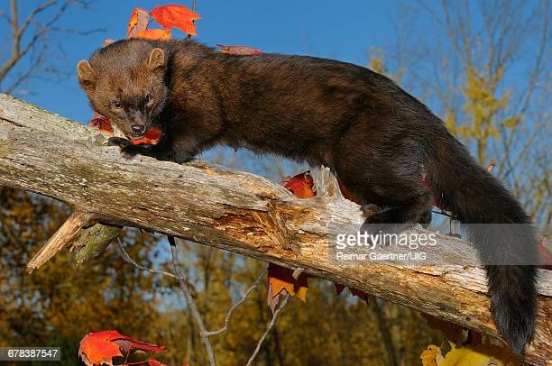 fisher - pine marten stock pictures, royalty-free photos & images