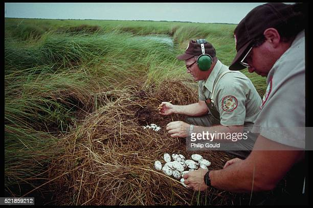 Fisheries Agents Collect Alligator Eggs From Nest