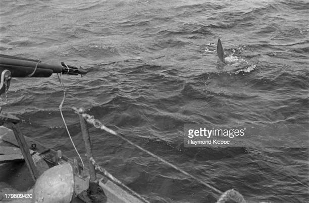 A fisherman aims a harpoon gun at a basking shark in waters off the Western Hebrides Scotland ExScots Guard Major Gavin Maxwell purchased the small...