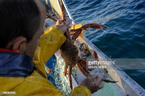 Fisherman Alfredo Budino catches a spider crab in a fishing net aboard the boat Nanin tres on December 22 close to the Ons Islands in the coast of...
