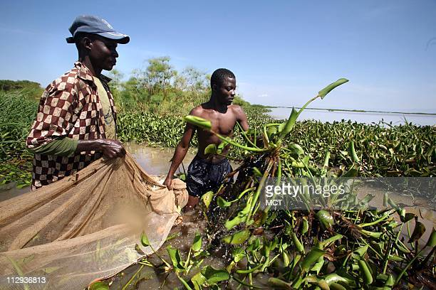 Fisherman Carilus Odera and Juma Steven use nets to collect mud fish from the thick blankets of water hyacinth Mud fish used for bait have appeared...
