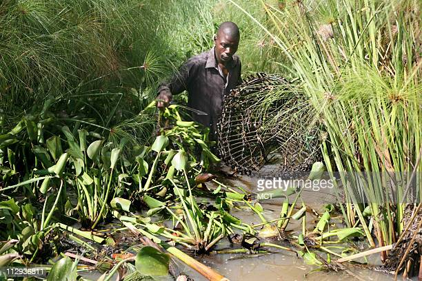 Fisherman Carilus Odera uses traps to catch mud fish Mud fish used for bait have appeared in Lake Victoria for the first time because of the water...