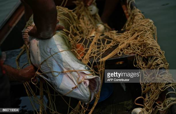 Fisherman Edmilson Ferreira hauls in his net after fishing an arapaima also known as pirarucu in the Western Amazon region near Volta do Bucho in the...