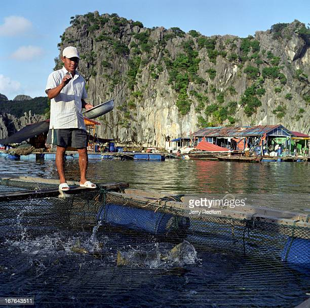 Fisherman feeds the huge catfish growing in a pen beneath his family's floating home near Cat Ba Island in Halong Bay. The captive fish are raised to...