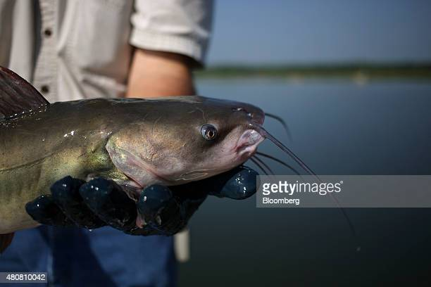 A fisherman from Harvest Select Catfish company displays a catfish that was fished out of a pond on an aquaculture farm in Uniontown Alabama US on...