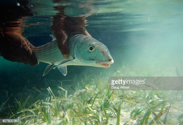 fisherman holding bonefish underwater - crabgrass stock pictures, royalty-free photos & images