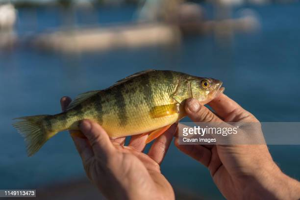 fisherman holding yellow perch caught on  st. clair river, michigan - perch fish stock pictures, royalty-free photos & images