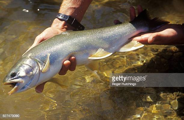 A fisherman holds out a fine specimen of a char or Dolly Varden caught on The Talachulitna River in Alaska on a trip from ther Talaheim Fishing Lodge