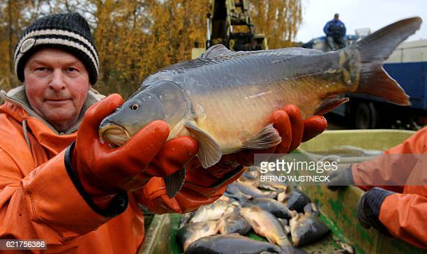 Fisherman Jan Leheis presents a carp during the fish harvest of the Müritz-Plau fishing company in Boek, northeastern Germany, on November 8, 2016....