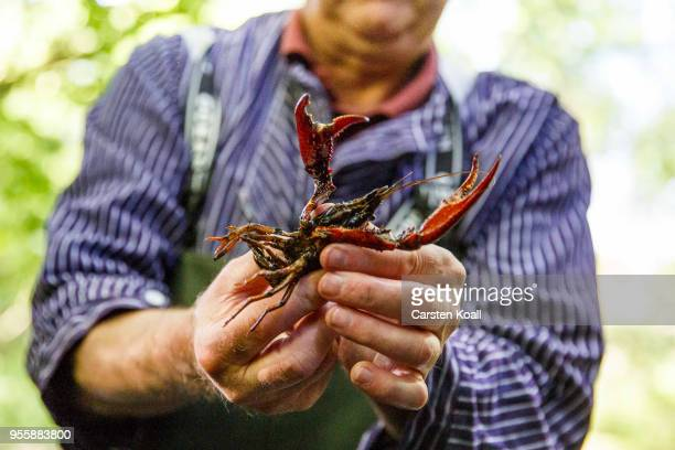 Fisherman Klaus Hidde shows Caught red swamp crayfish during a media opportunity in waters in Tiergarten park on May 8 2018 in Berlin Germany The red...