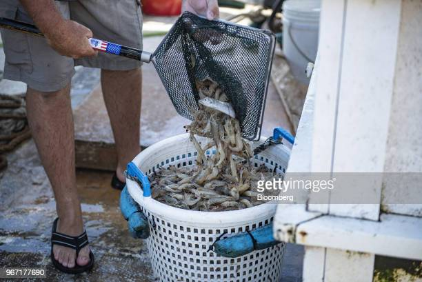 A fisherman loads shrimp into a bucket on a boat near Dickinson Texas US on Wednesday May 30 2018 China's surging demand for seafood may be about to...