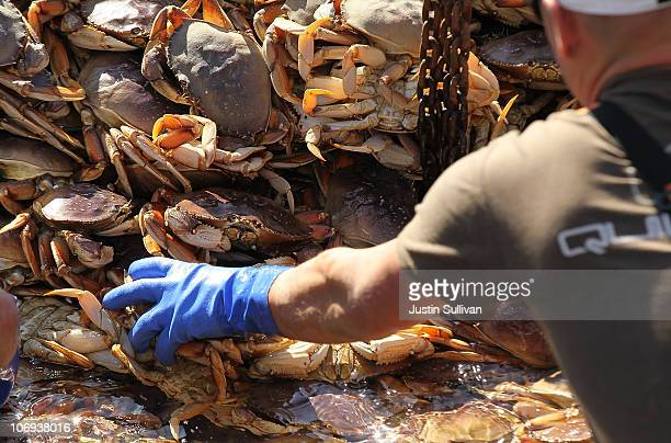 Fisherman offload Dungeness Crab from their fishing vessel on November 17 2010 in San Francisco California After a brief delay due to the sizes and...