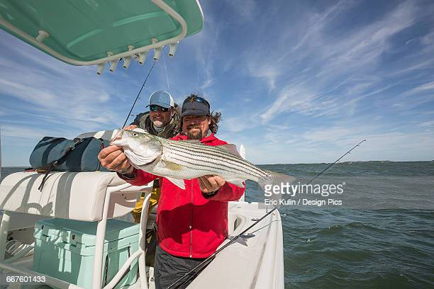 A fisherman on a boat holds a large fresh striped bass caught off the Atlantic coast